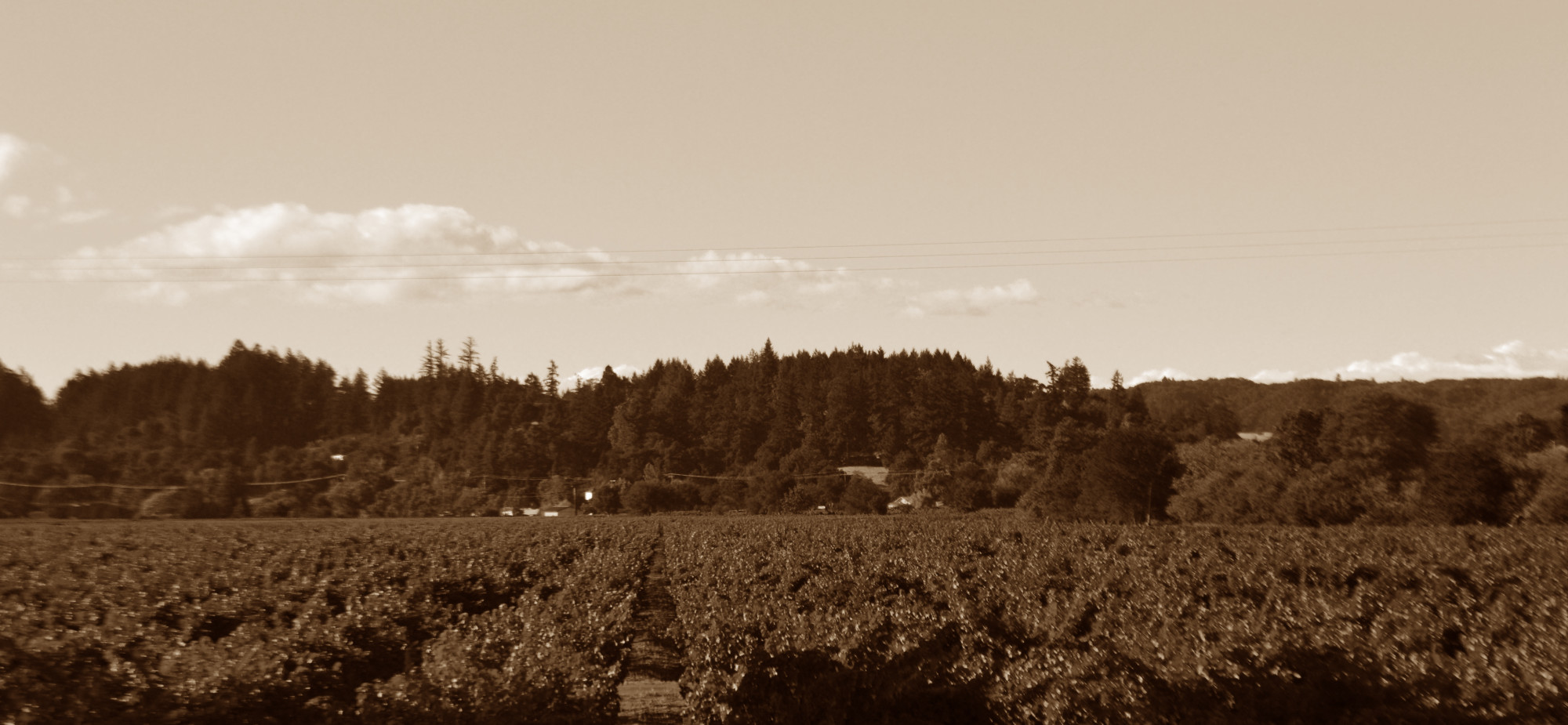 vineyard in sepia
